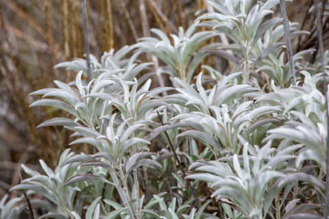 Wild White Sage growing in California Field